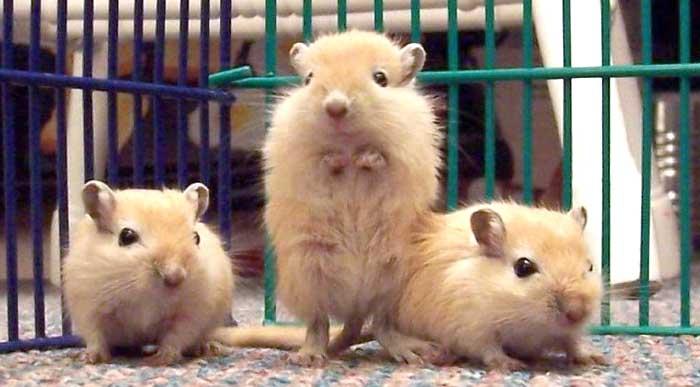 Małe myszoskoczki, gerbile