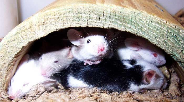 Myszy domowe