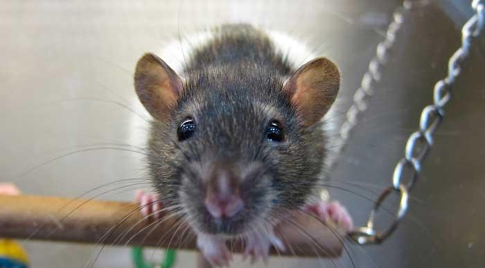 szczur domowy