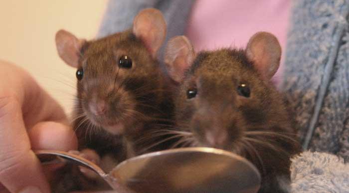 Szczur domowy parka