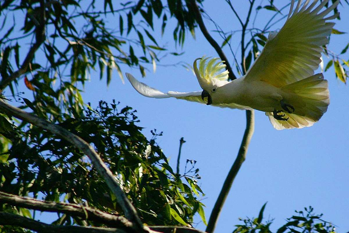 Papuga Kakadu