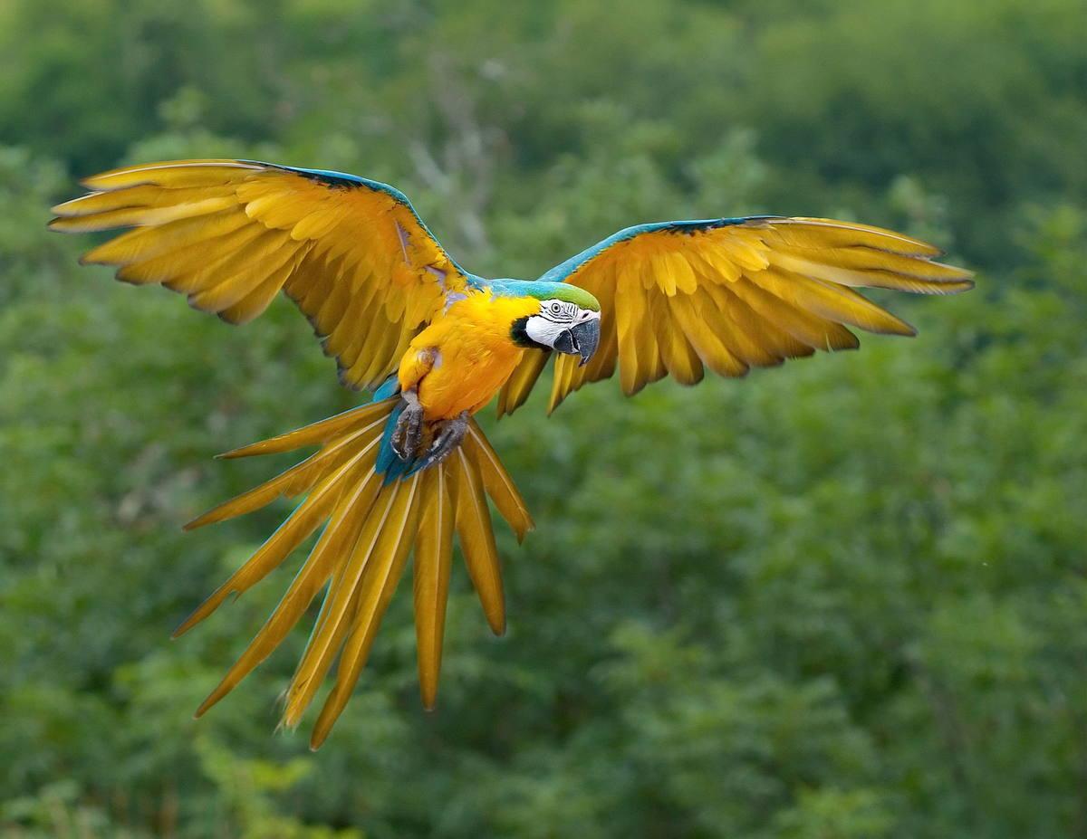 Papuga Ara w locie
