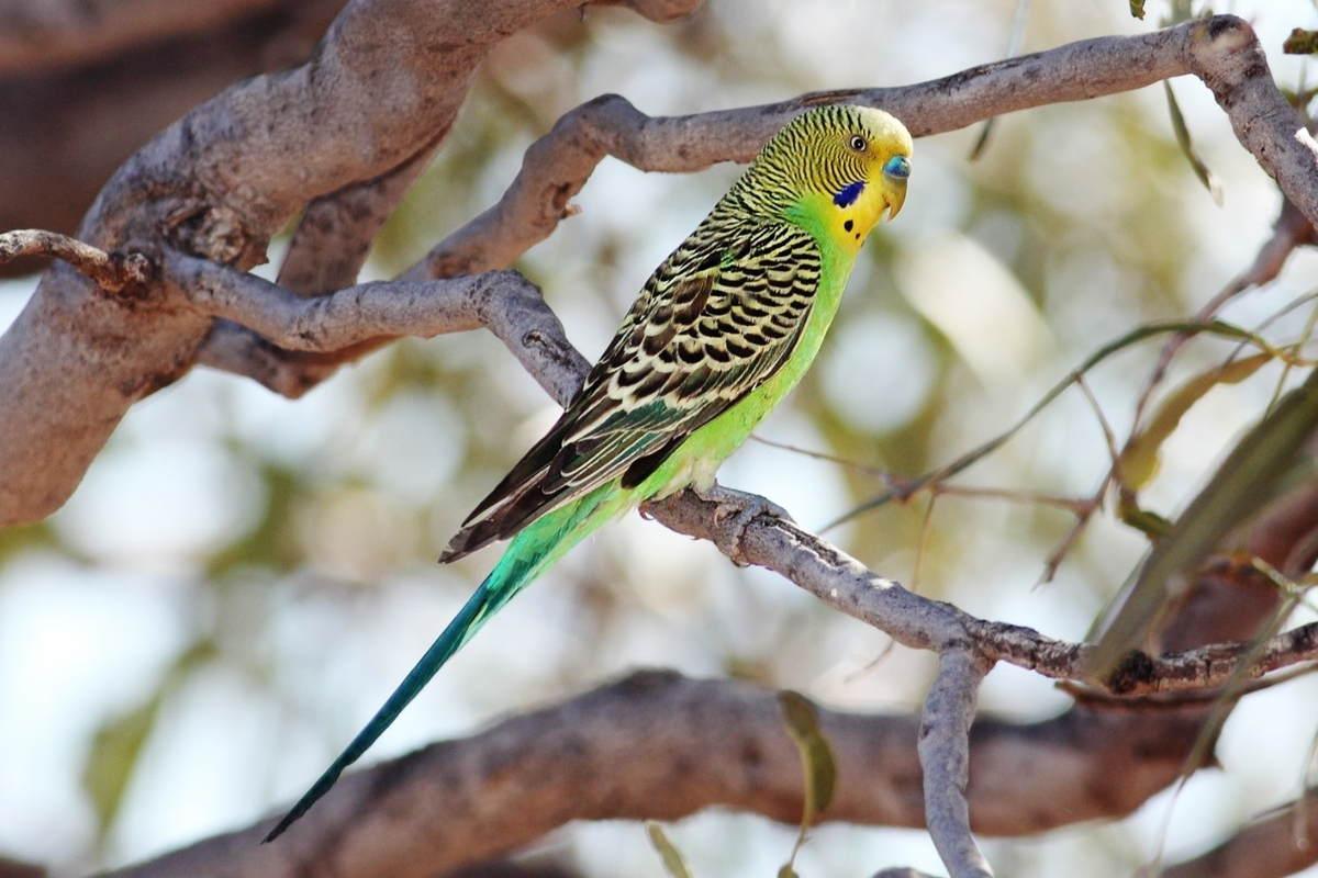 Papuga falista na drzewie