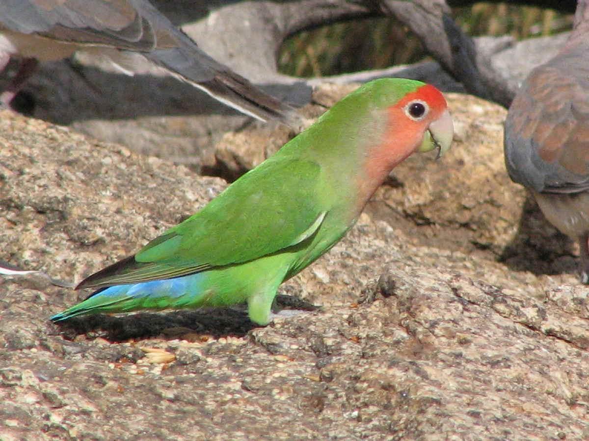Zdjęcie papugi nierozłączki